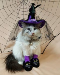 Mayhem the Cat dressed as a Halloween witch.