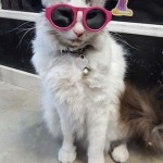 Cat wears kids' sunglasses